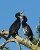 Young Little Pied Cormorants on the nest.