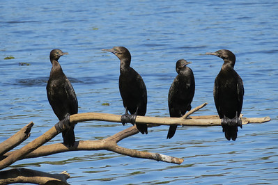 CORMORANT LITTLE BLACK_37