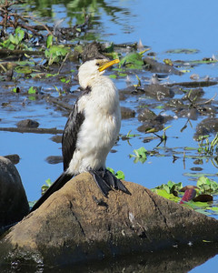 CORMORANT LITTLE PIED_22
