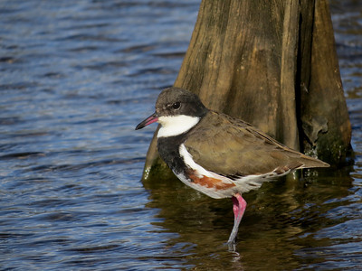 DOTTEREL RED-KNEED_31