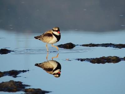 DOTTEREL BLACK-FRONTED_35