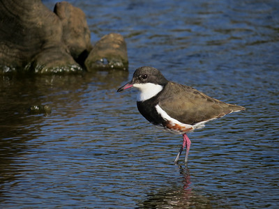 DOTTEREL RED-KNEED_28
