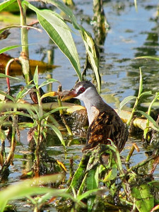 CRAKE WHITE-BROWED_01a