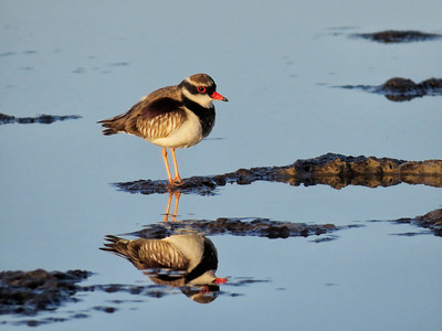 DOTTEREL BLACK-FRONTED_37