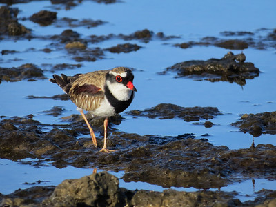 DOTTEREL BLACK-FRONTED_42