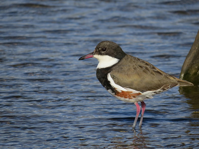DOTTEREL RED-KNEED_33