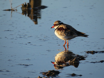 DOTTEREL BLACK-FRONTED 31 IMAGE TAKEN AT SUNRISE