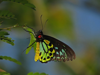 CAIRNS BIRDWING M_07