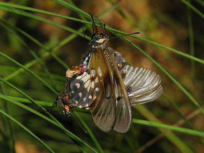CLEARWING SWALLOWTAIL M_09