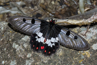 CLEARWING SWALLOWTAIL M_12