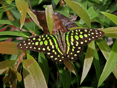 GREEN-SPOTTED TRIANGLE_04