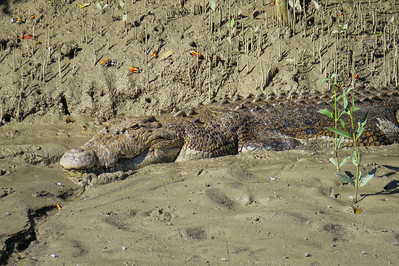CROCODILE  03_13 This is a saltwater crocodile of at least 5 m ( 15 feet ) in length and around 700 kg ( 1500 lbs ) in weight. The crocodile must be of advanced age too, to have attained such a large size.