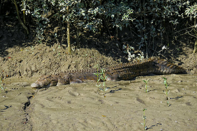 CROCODILE   03_07 This is a saltwater crocodile of at least 5 m ( 15 feet ) in length and around 700 kg ( 1500 lbs ) in weight. The crocodile must be of advanced age too, to have attained such a large size.