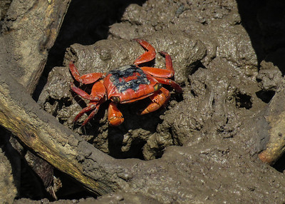 Small brightly red crabs, sighted at low tide along the edge of the mangrove creek.