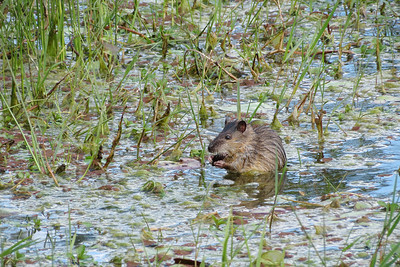 This is a native Australian water rat. Not to be confused with the  normal rat.