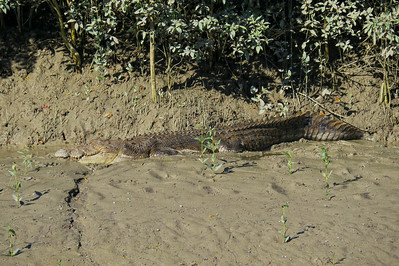 CROCODILE  03_08 This is a saltwater crocodile of at least 5 m ( 15 feet ) in length and around 700 kg ( 1500 lbs ) in weight. The crocodile must be of advanced age too, to have attained such a large size.