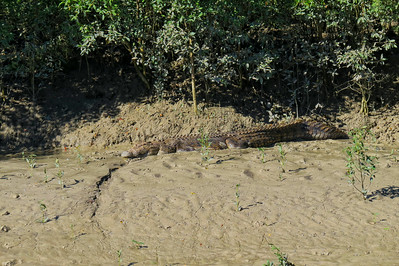 CROCODILE  03_05 This is a saltwater crocodile of at least 5 m ( 15 feet ) in length and around 700 kg ( 1500 lbs ) in weight. The crocodile must be of advanced age too, to have attained such a large size.