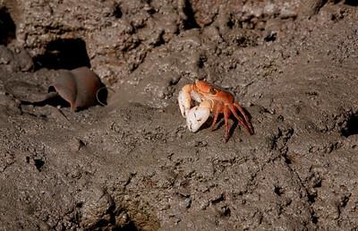 "A smallish crab of perhaps 3"". At the edge of a mangrove creek."