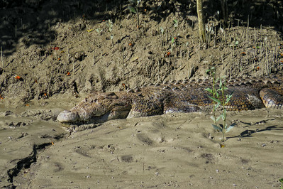 CROCODILE  03_12 This is a saltwater crocodile of at least 5 m ( 15 feet ) in length and around 700 kg ( 1500 lbs ) in weight. The crocodile must be of advanced age too, to have attained such a large size.