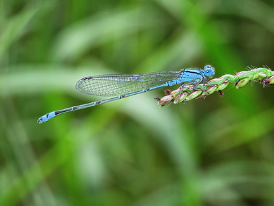 BLUE RIVERDAMSEL M_06