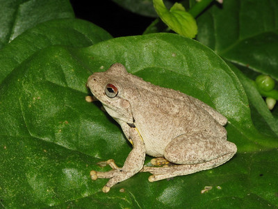 ROTH'S TREE FROG_01