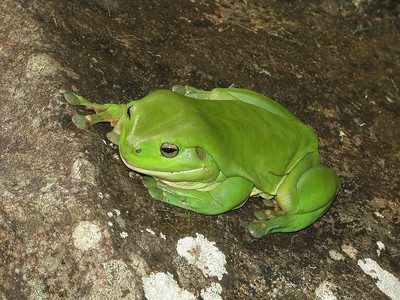 GREEN TREE FROG_08