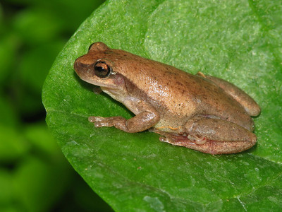 RED TREE FROG_03