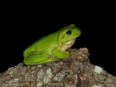 GREEN TREE FROG_06