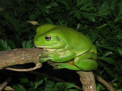 GREEN TREE FROG_09