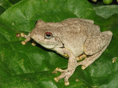 ROTH'S TREE FROG_04