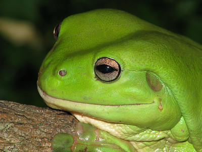 GREEN TREE FROG_12
