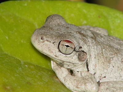 ROTH'S TREE FROG_11