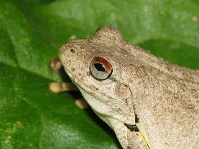 ROTH'S TREE FROG_07