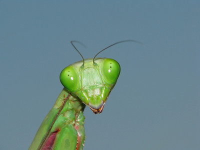 GIANT MANTID GREEN_27