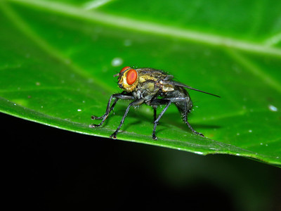 BRISTLE FLY_02