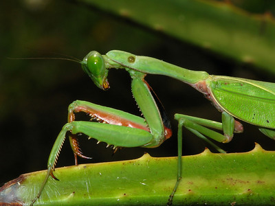 GIANT MANTID GREEN_16