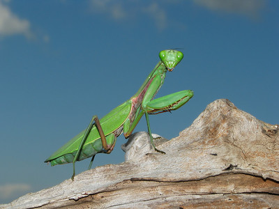 GIANT MANTID GREEN_25