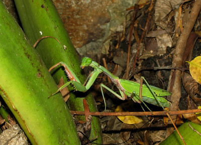 GIANT MANTID GREEN_01