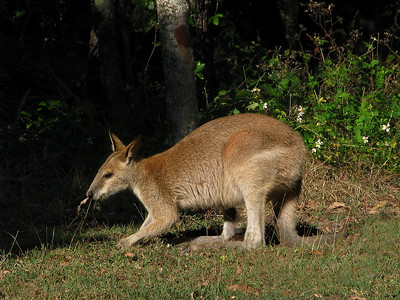 WALLABY AGILE J_03