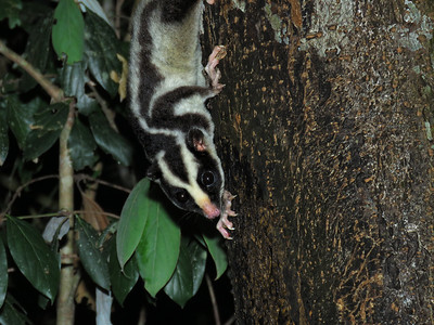 POSSUM STRIPED_09