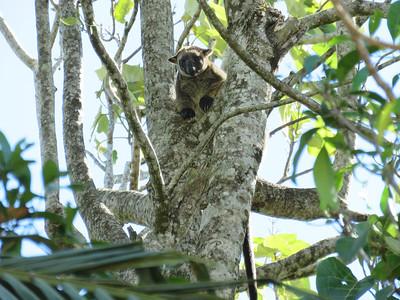 KANGAROO LUMHOLTZ TREE_03