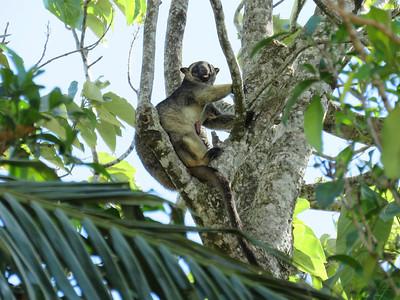 KANGAROO LUMHOLTZ TREE_08