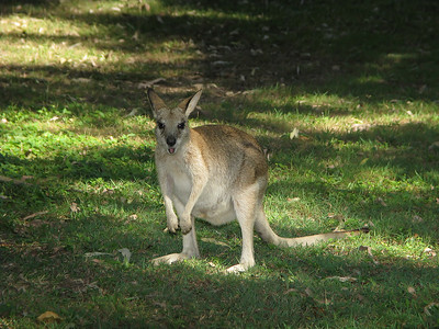 WALLABY AGILE_03