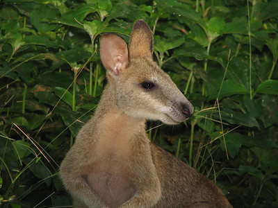 WALLABY AGILE J_05