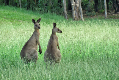 KANGAROO EASTERN GREY_20