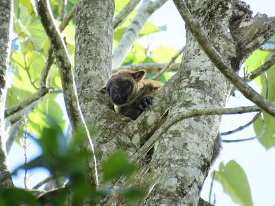 KANGAROO LUMHOLTZ TREE_04