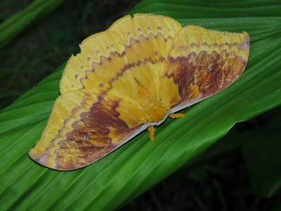 Moth 1 - EMPEROR MOTH_11