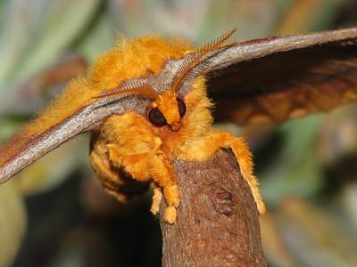 Moth 1 - EMPEROR MOTH_07