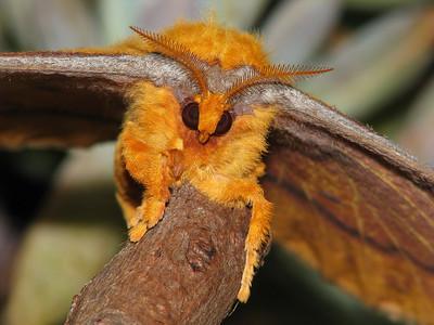 Moth 1 - EMPEROR MOTH_08