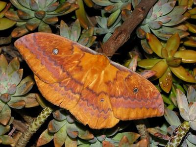 Moth 1 - EMPEROR MOTH_05